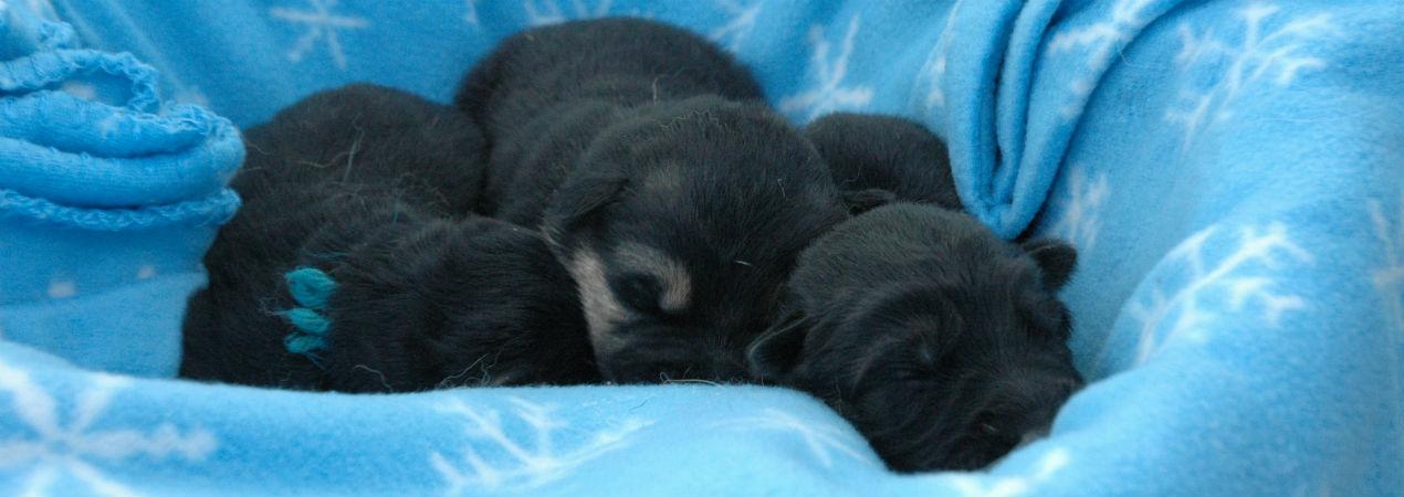 Selten Ruhe Kennels German Shepherd Puppy
