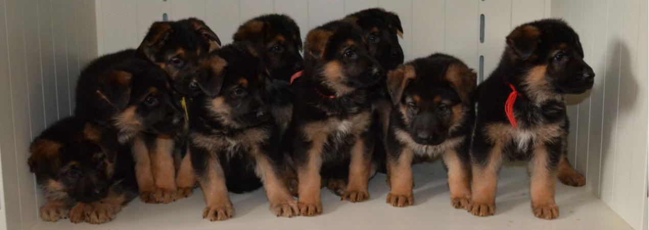 Selten Ruhe's German Shepherd Puppies