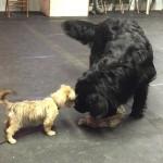 Puppy Socialization Class at Selten Ruhe Kennels